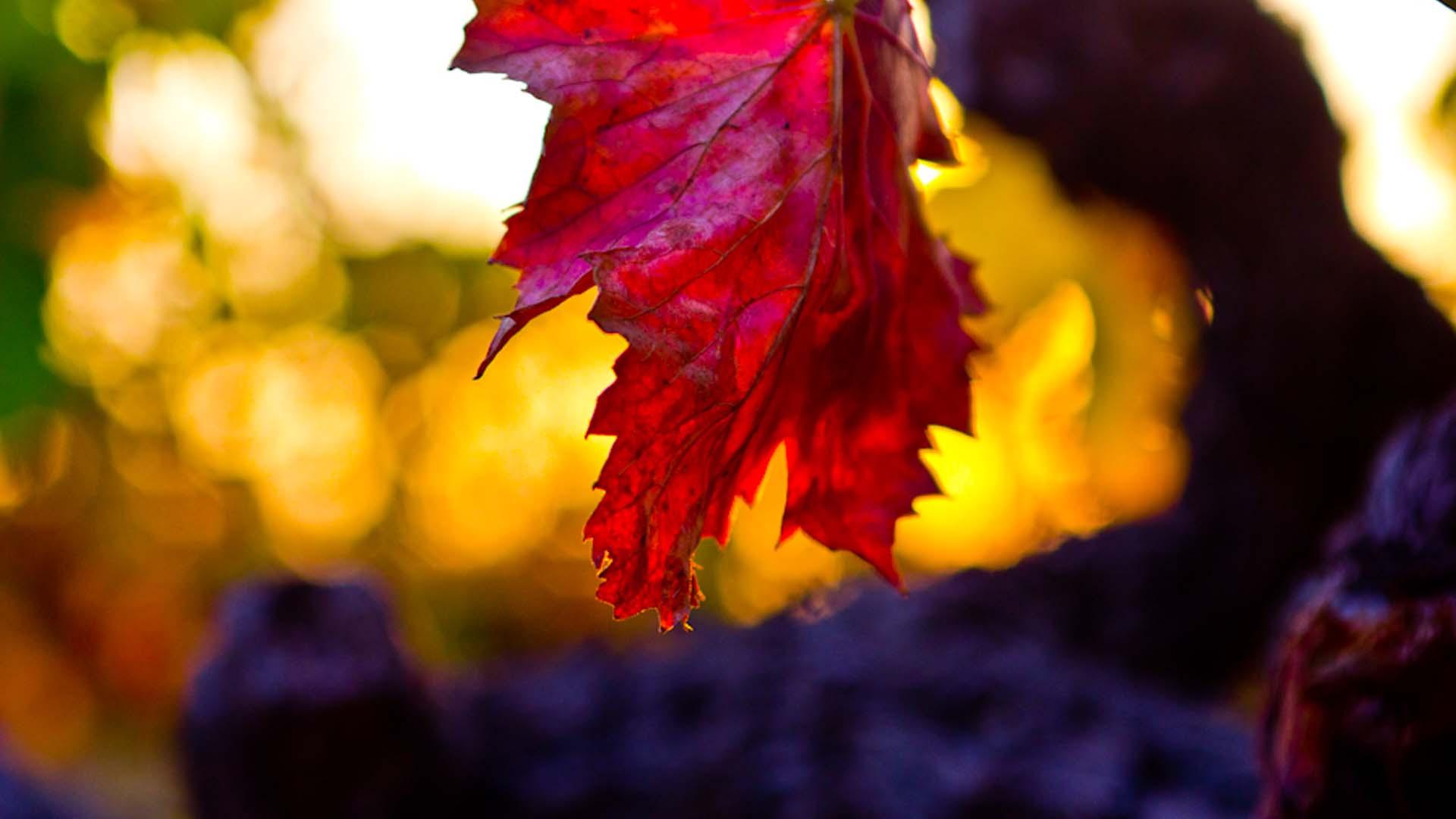 Les Vignes de Gigondas en automne
